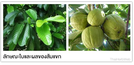 ส้มแขกคุณสมบัติที่เป็นเหตุให้มีสุขภาพอนามัยดี